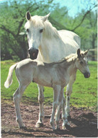 Horses, Standing White Horse With Foal - Horses