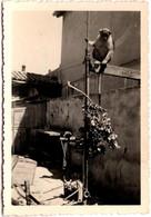 Photo Originale Animaux - La Ciotat (13600) Chita, Le Singe De Chez Jeannette Au Jardin En Août 1954 - Sin Clasificación