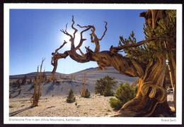 AK 000454 USA  - California - White Mountains - Bristlecone Pine - Autres