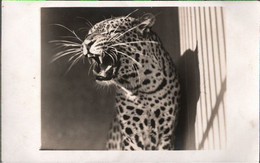 ! Alte Fotokarte, Photo, Zoologischer Garten, Halle A.d. Saale, Tierpark, Gepard - Halle (Saale)