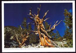 AK 000562 USA  - Nevada - Grannenkiefer Im Great Basin-Nationalpark - Other