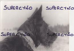 PHOTO CHIEN FORMAT 22.5/16.5 BERGER PICARD SUPERBE ET PEU COURANT POUR CETTE RACE MERITE UN BEAU CADRE - Altri