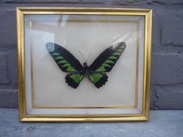 Cadre Superbe Papillon ... à Identifier- Taxidermie,cabinet De Curiosité /d'autres Cadres Papillons Voir Boutique - Altri