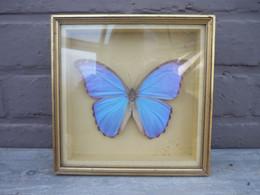 """Cadre Superbe Papillon """" Morpho Didius """"- Taxidermie,cabinet De Curiosité /d'autres Cadres Papillons Voir Boutique - Altri"""
