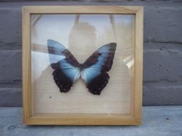 Cadre Superbe Papillon  ... à Identifiez- Taxidermie,cabinet De Curiosité /d'autres Cadres Papillons Voir Boutique - Altri