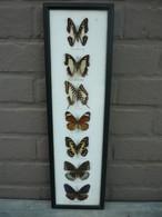 Cadre Superbe 7 Papillons , Identifiés - Taxidermie,cabinet De Curiosité /d'autres Cadres Papillons Voir Boutique - Altri