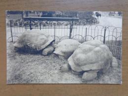 Zoo, Dierenpark, Tierpark / Zoo Van Antwerpen - Reuzenschildpadden -> Onbeschreven - Turtles