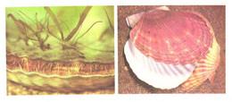 Russia:Shells, Patinopecten Yessoensis, 1977 - Fish & Shellfish