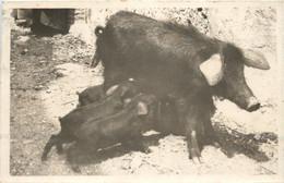 Taormina - Schwein - Pig - Zonder Classificatie