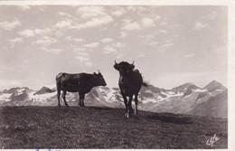 Vaches  En Pâturage à LUCHON-SUPERBAGNERES - Cows
