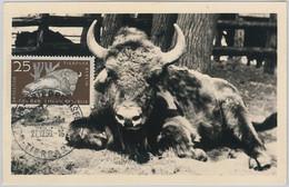 52554  - GERMANY DDR - POSTAL HISTORY -MAXIMUM CARD - 1956  ANIMALS:  BUFFALO - Maximumkarten (MC)