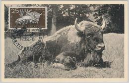 52555  - GERMANY DDR - POSTAL HISTORY -MAXIMUM CARD - 1956  ANIMALS:  BUFFALO - Maximumkarten (MC)