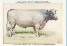 KBIN / IRSNB -  Huiszoogdieren - 1960 - 4 - (as New) Taureau De La Race Bleue Belge, Belgisch Blauw Runderras - Cows