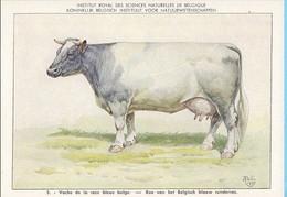 KBIN / IRSNB -  Huiszoogdieren - 1960 - 5 - (as New) Vache De La Race Bleue Belge, Belgisch Blauw Runderras - Cows