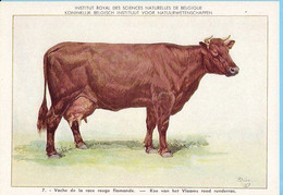 KBIN / IRSNB -  Huiszoogdieren - 1960 - 7 - (as New) Vache De La Race Ruge Flamande, Vlaams Rood Runderras - Cows