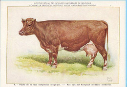 KBIN / IRSNB -  Huiszoogdieren - 1960 - 9 - (as New) Vache Campinoise Rouge-pie, Kempisch Roodbont Runderras - Cows