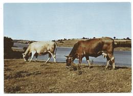 CPSM  12       SUR LE LEVEZOU       -      VACHES - Cows