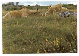 CPSM  12    AUBRAC     -      VACHE ET SON VEAU - Cows