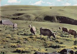 Pâturage Sur L'AUBRAC - Cows
