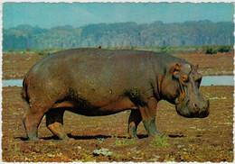 IPPOPOTAMO           (AFRICA)      (NUOVA) - Hippopotamuses