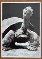 Turtle Galapagos Carte Postale - Turtles