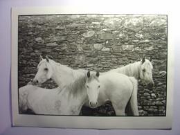 FRANCOIS LE DIASCORN  PHOTO ORIGINALE TIRAGE D'EPOQUE - TROIS CHEVAUX BLANCS KILLORGLIN IRLANDE CIRCA 1980 - 24cm X 17cm - Altri