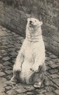 N°18341 Z -cpa Jardin Des Plantes -Ours Blanc- - Bears