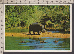 089715GF/ Hippopotame, Femelle Et Ses Petits, Mother Hippo Watching Over Her Family - Hippopotamuses