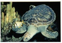 (XX 1) Tortoise - Tortue De Mer (Genova Aquarium2 - Turtles