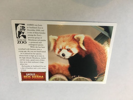(ZZ 39) Red Panda At Auckland Zoo - Bears