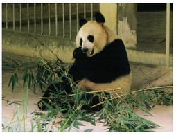 (II [ii]20) (ep) China - Guangzhou Zoo Panda Bears - Bears