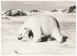 Polar Bear, Original Photo - Altri