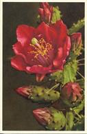 FLORE + Carte Postale Neuve THOR E GYGER + N° 676 : Opuntia Bergeriana - Nopal De Berger - Cactus + Imprimé En Suisse - Fiori