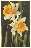 FLORE + Carte Postale Neuve Ed. STEHLI + N° 32 : Narcisse - Daffodil - Jonquille - Osterglocke + Imprimé En Suisse - Fiori