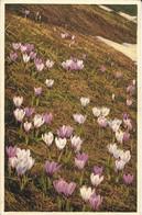 FLORE + Carte Postale Neuve STZF + N° 258 : Crocus Albiflorus - Frühlingskrokus - Spring Crocus + Imprimé En Suisse - Fiori