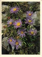 FLORE + Carte Postale Neuve Jean ZELTNER + N° 755 : Compositae Aster Alpinus - Aster Des Alpes + Fabrication Suisse - Fiori