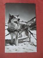 Jungfrau Joch. Polarhund    Ref 5216 - Cani