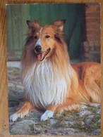 AK Hund Collie - Dogs