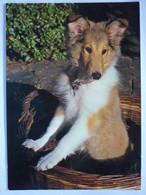 AK Schweiz, Hund Collie - Dogs