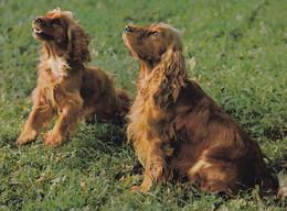 COKERS IRLANDAIS - Dogs