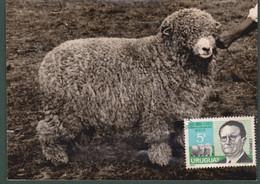 1971 Uruguay  Maxi-card Photo Postmark Elorza Breed Breeder Merilin Sheep Oveja Mouton Ovino Cattle - Uruguay