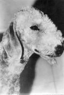 - Bedlington Terrier. - - Chiens