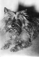 - Cairn Terrier. - - Chiens