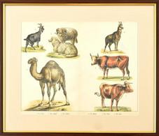 Cca 1850-1890: Állatokk (Zerge, Kecske, Teve, Marha Stb.). Színes Litográfia, Papír, Jelzés Nélkül, üvegezett Fa Keretbe - Gravuren