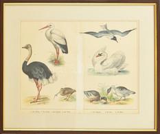 Cca 1850-1890: Madarak (strucc, Gólya, Sirály, Hattyú Stb.). Színes Litográfia, Papír, Jelzés Nélkül, üvegezett Fa Keret - Gravuren