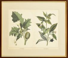 Cca 1850-1890: Maszlag és Nadragulya. Színes Litográfia, Papír, Jelzés Nélkül, üvegezett Fa Keretben, 28x36 Cm - Gravuren