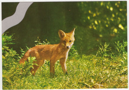 Jonge Vos - (Nederland/Holland) - Fuchs / Renard / Fox - Nr. L 1573 - Other