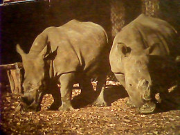 RINOCERONTE AFRICA RHINOCEROS ZOO SAFARI DEL LAGO MAGGIORE NOVARA    N1980 IH11002 - Rhinoceros