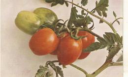 """Fruit. Tomatoes""Nice Old Vintage German Postcard - Altri"