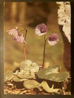 Fleur Soldanelle Des Alpes Soldanella Alpina , Cachet Barcelonette 1980 , TB - Fiori
